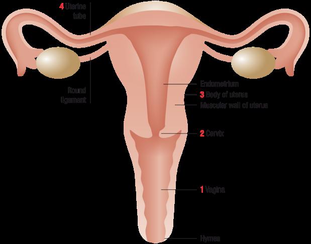 uterus-1
